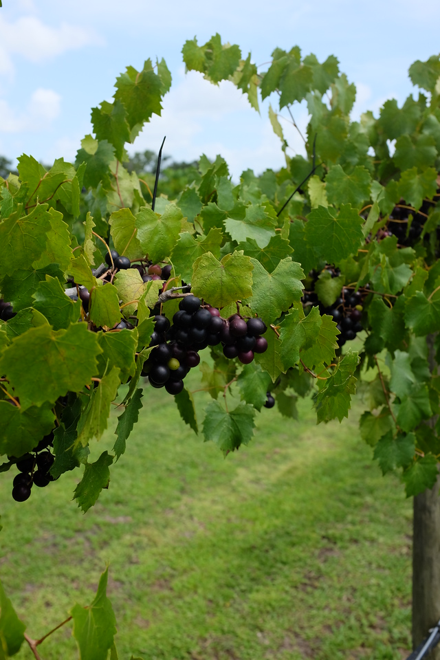 Red grapes 2