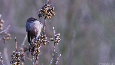 Bushtit in Poison Oak