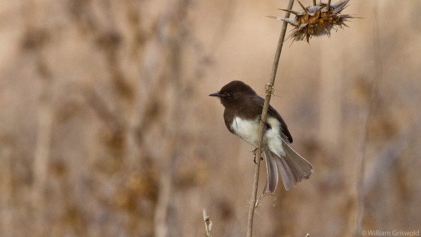 Black Phoebe in Field
