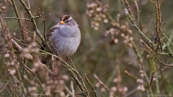 White-Crowned Sparrow, Juvenile