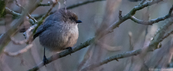 Wrentit in Poison Oak