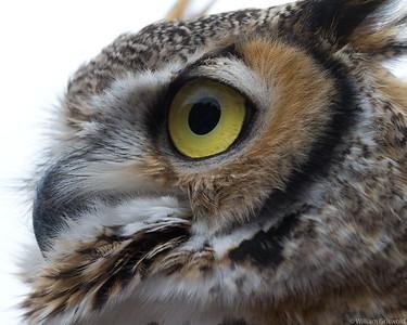Great Horned Owl (Captive)