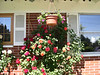 Climbing Roses on Front of House - Climbing Roses on Front of House