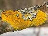 Lichens on a tree limb.