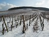 These vines have been pruned, leaving only two canes on each vine.