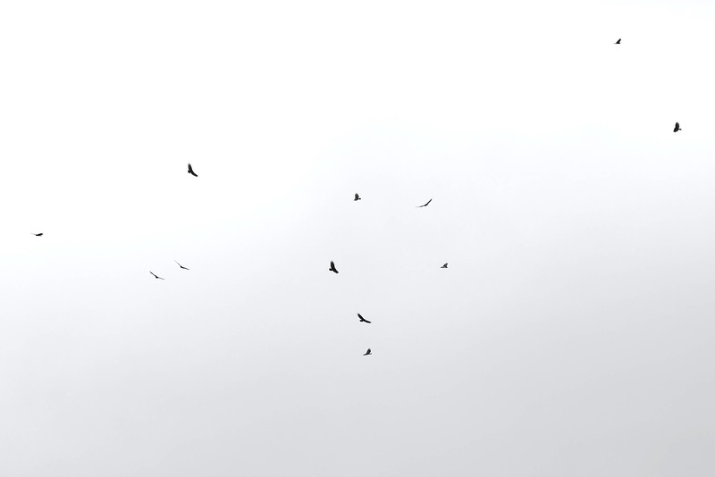 Black Vultures in the sky