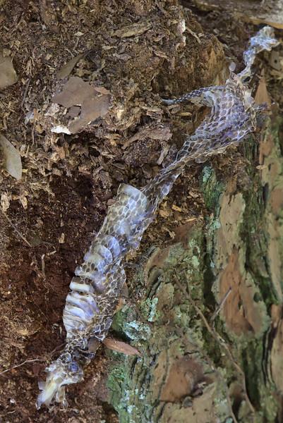 Snakeskin on pine