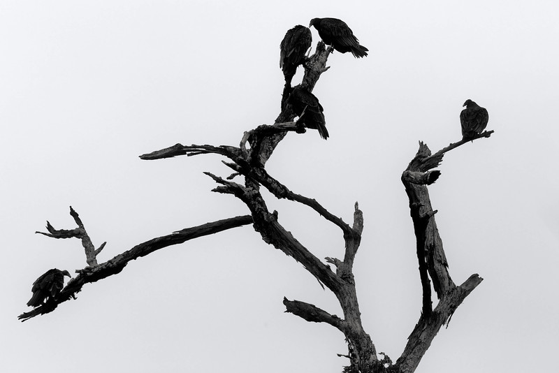 Vultures on the roost