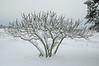 2008 Christmas White Christmas 2004-Fig Tree