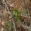 baby iguana