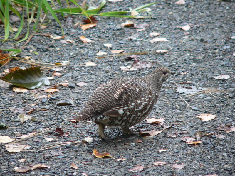 First of three Spruce Grouse encountered during the hike to Russian River Falls