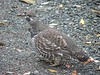 Spruce Grouse #2