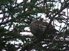 Spruce Grouse #2 in a Spruce