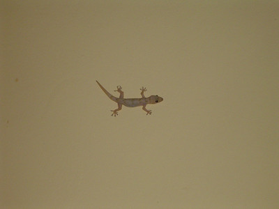 Here is a gecko on the wall of my room in Kibuye - very cute...