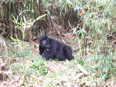 Rwandan Mountain Gorillas