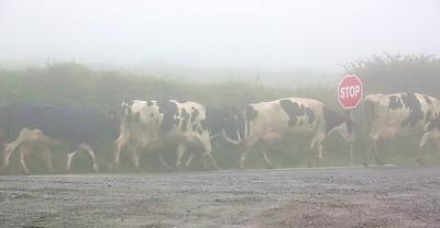 Cows RX101781