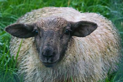 Sheep RX101831