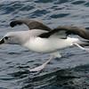 Elsehul and Joker Bay Lots of Albatrosses