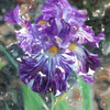 Batik Iris 100_1181e Ver01