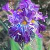 Batik Iris 100_1181e2 Ver01
