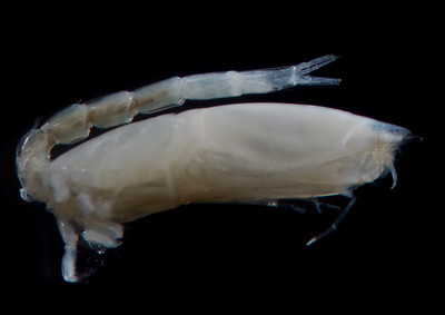 Diastylopsis tenuis