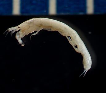 Leptochelia dubia
