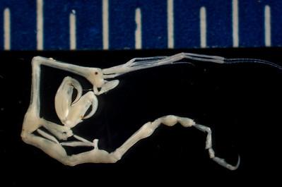 Caprella mendax