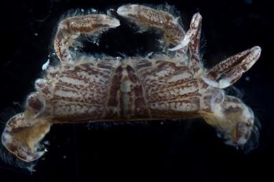 Pinnixa longipes