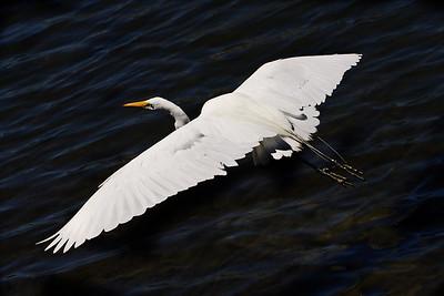IMG_1545_flying_egret_dark