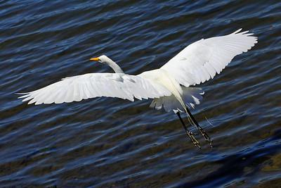 IMG_1546_egret_flying