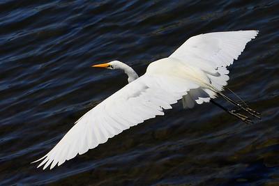 IMG_1545_egret_flying_edit
