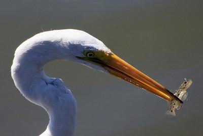 IMG_1688_egret_fish