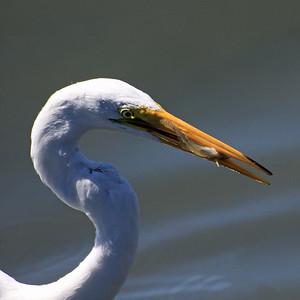 IMG_1692_egret_fish_square_ed