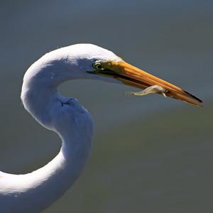 IMG_1691_egret_fish