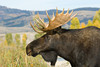 Bull Moose at Grand Teton Nationaal Park