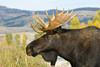 Bull Moose at Grand Teton Nationaal Park