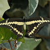GIANT SWALLOWTAIL, EL CAJON, CALIFORNIA