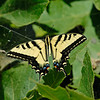 WESTERN TIGER SWALLOWTAIL, CALIFORNIA