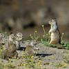 GROUND SQUIRRELS, LINDO LAKE CALIFORNIA, AKA, THE BOYS ARE BACK IN TOWN