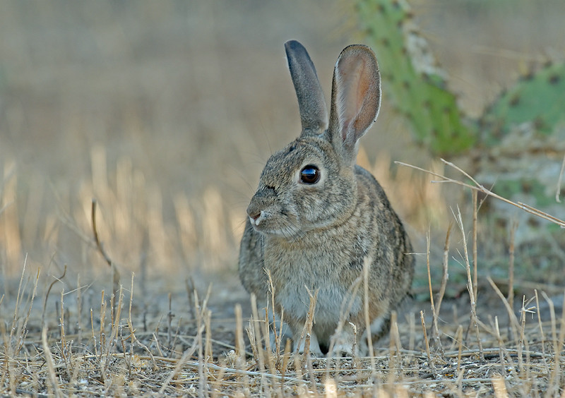 BRUSH RABBIT, LAKE JENNINGS, CALIFORNIA