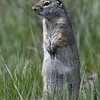 UINTA GROUND SQUIRREL,NATIONAL ELK REFUGE, WYOMING