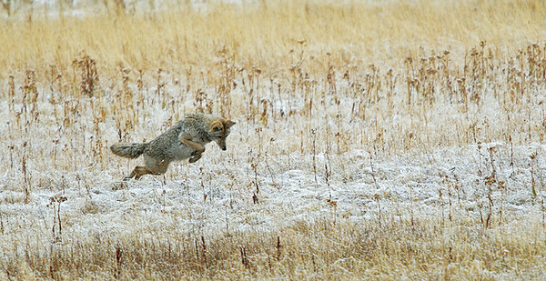 COYOTE, YELLOWSTONE N.P., WYOMING