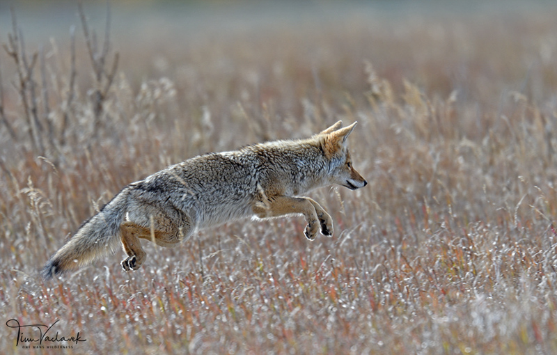 COYOTE POUNCING, GRAND TETON N.P., WYOMING