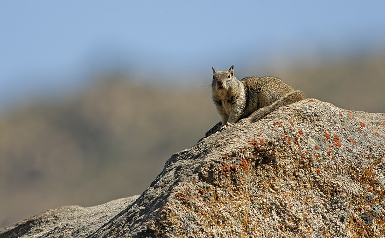 GROUND SQUIRREL, CUYAMACA STATE PARK, CALIFORNIA