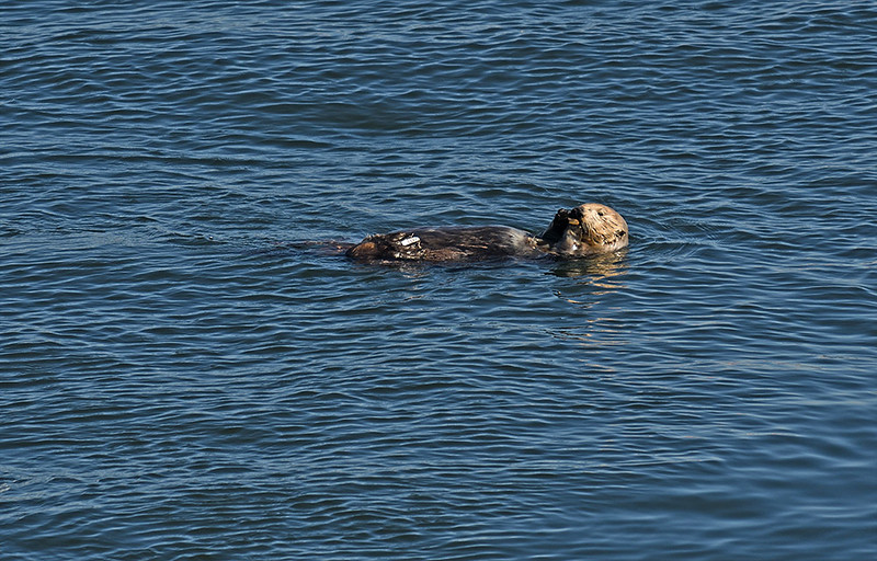 SEA OTTER, MONTERAY, CALIFORNIA