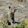 GROUND SQUIRREL, LINDO LAKE, CALIFORNIA