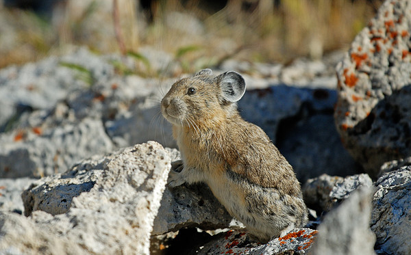 PIKA, YELLOWSTONE N.P., WYOMING
