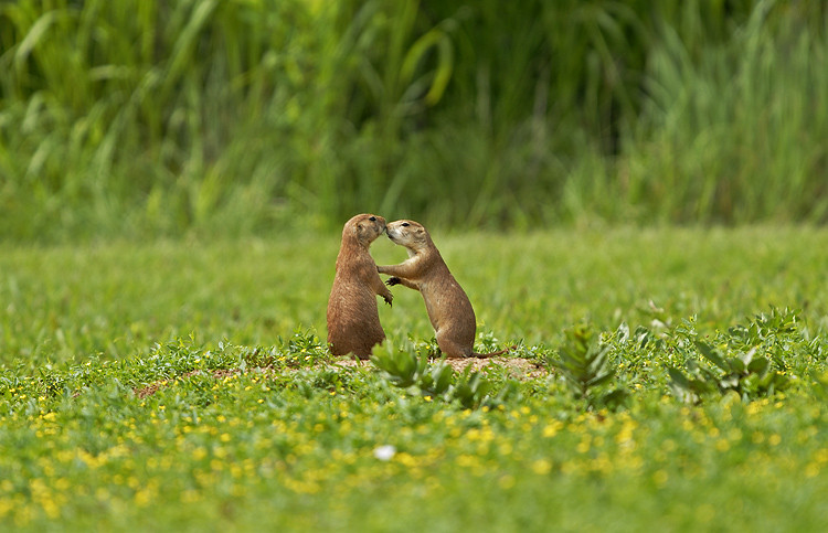 PRAIRIE DOGS, KANSAS