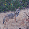 COYOTE, LAKE JENNINGS, CALIFORNIA