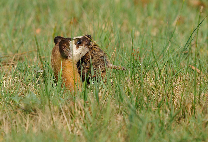 LONG TAILED WEASEL WITH GOPHER, LINDO LAKE, CALIFORNIA